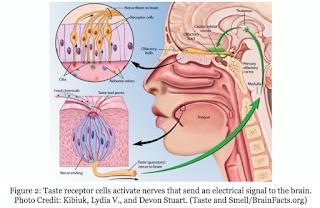 http://blogs.discovermagazine.com/scienceandfood/tag/taste-receptor/#.Wqo154IuA4w