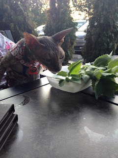 Kely with One L, Cornish Rex dining on catnip