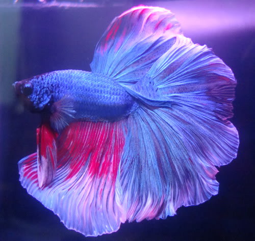 Unduh 1020+ Gambar Ikan Cupang Halfmoon HD Terbaru