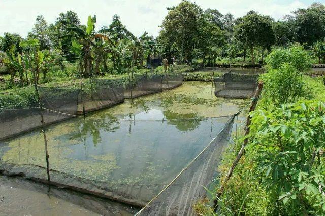 Gambar Kolam Ikan Mas