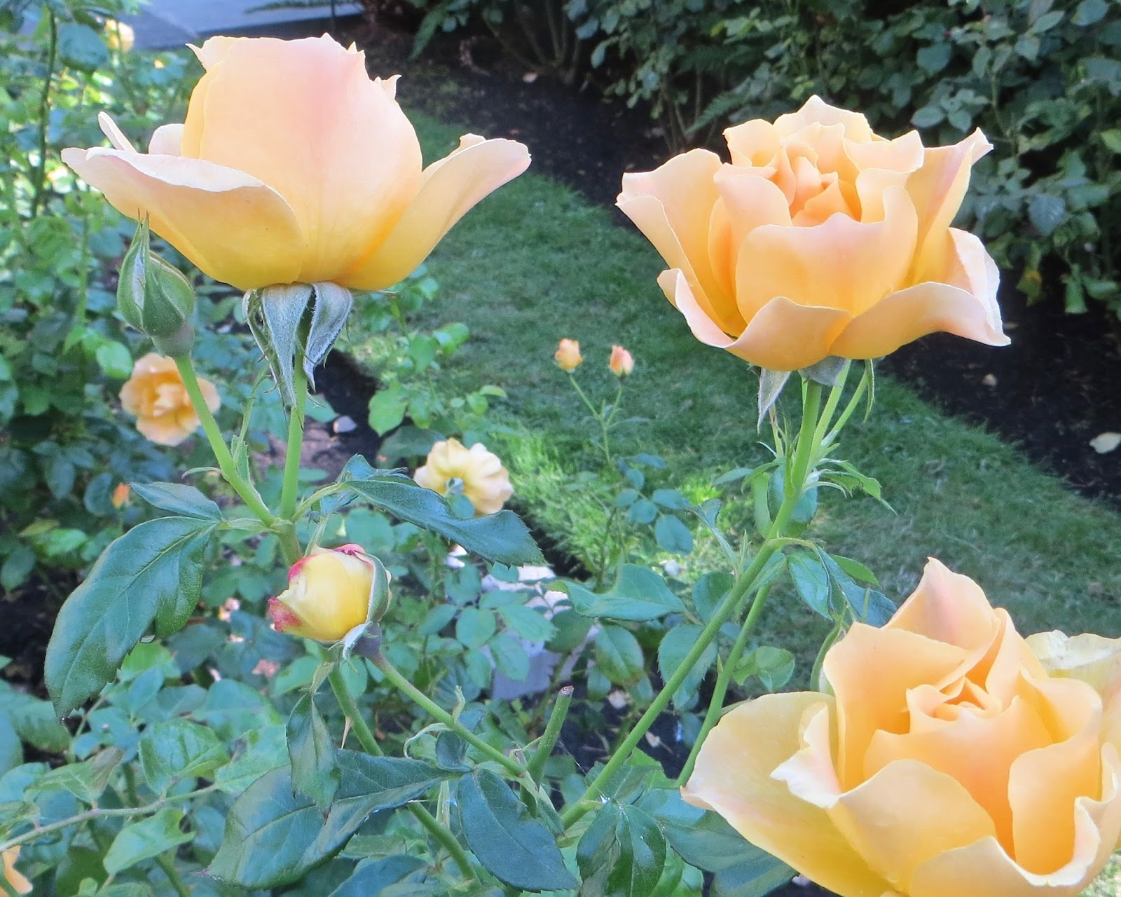 Livingu0027 Easy Orange Floribunda Roses