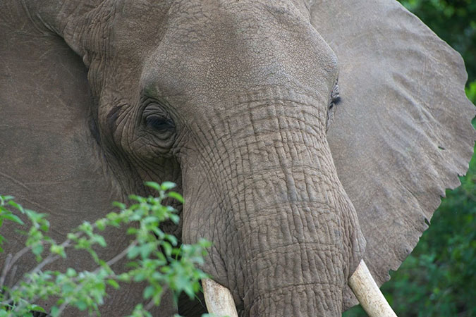Penelitian Locally-curved Geometry Generates Bending Cracks in the African Elephant Skin