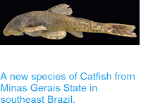 http://sciencythoughts.blogspot.co.uk/2013/12/a-new-species-of-catfish-from-minas.html