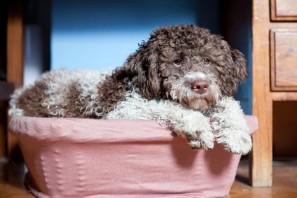 hunde f r allergiker wasserhunde lagotto romagnolo. Black Bedroom Furniture Sets. Home Design Ideas