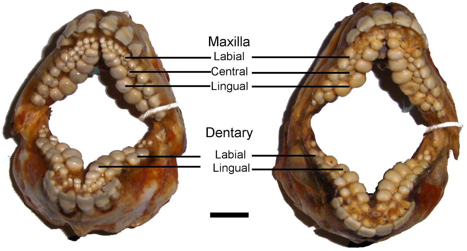 Blog Medioambiente.org : ¿Un pez con dentadura casi humana? El sargo ...