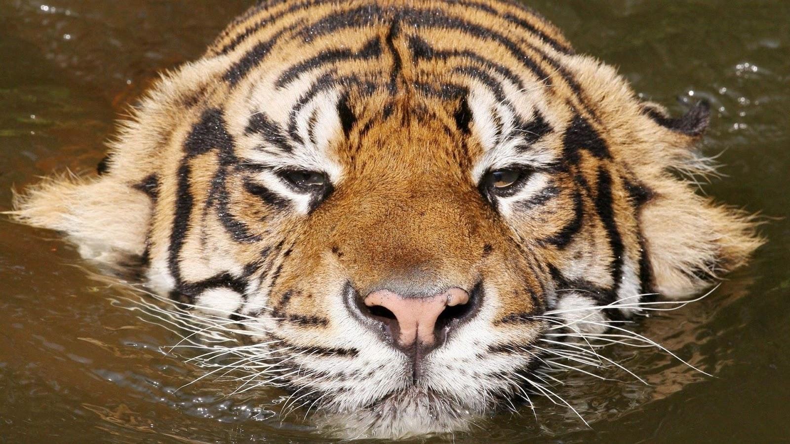Imagenes De Tigres Para Fondo De Pantalla Hd