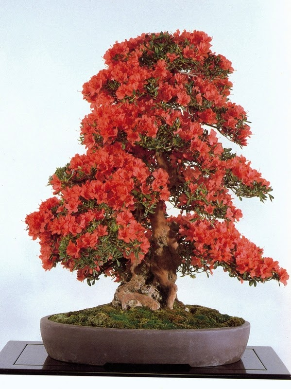 Jardim da terra como cultivar bougainville em vasos for Como cultivar bonsais