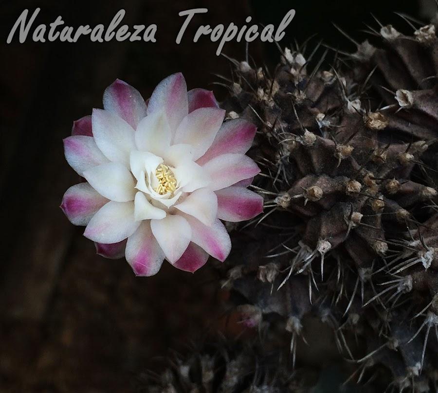 Flor de una variedad del cactus Gymnocalicium mihanovichii