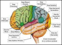 https://sites.google.com/site/almacendearticulos4/%C3%81rea%20cerebral%20del%20lenguaje%20una%20reconsideraci%C3%B3n%20funcional.pdf?attredirects=0&d=1