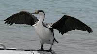 Pied Cormorant bird pictures_Phalacrocorax varius