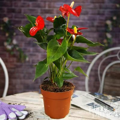 Anthurium indoor Macam Tanaman Hias Indoor Dan Outdoor