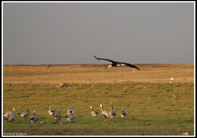 Woolly neck stork and bar headed geese at Bhigwan