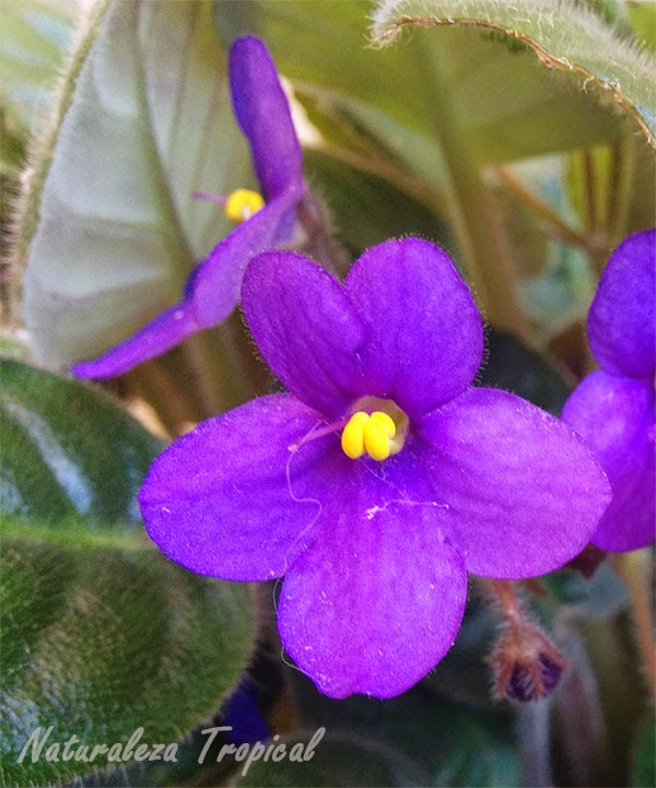 Flor violeta africana, género Saintpaulia