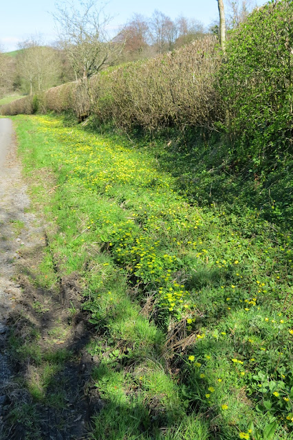 The verge at the side of the lane - green grass scattered with hundreds of yellow celandine flowers.