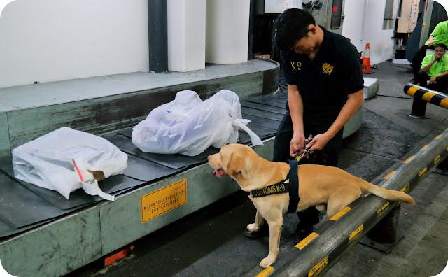 Anjing+Labrador+Bea+Cukai