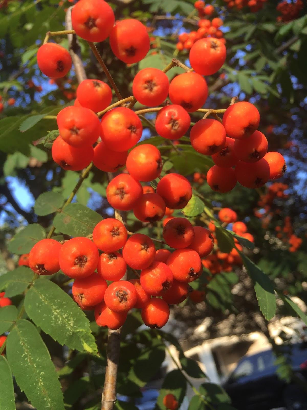 Fall berry blush