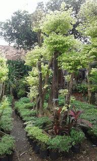 jenis tanaman bonsai ating putri murah