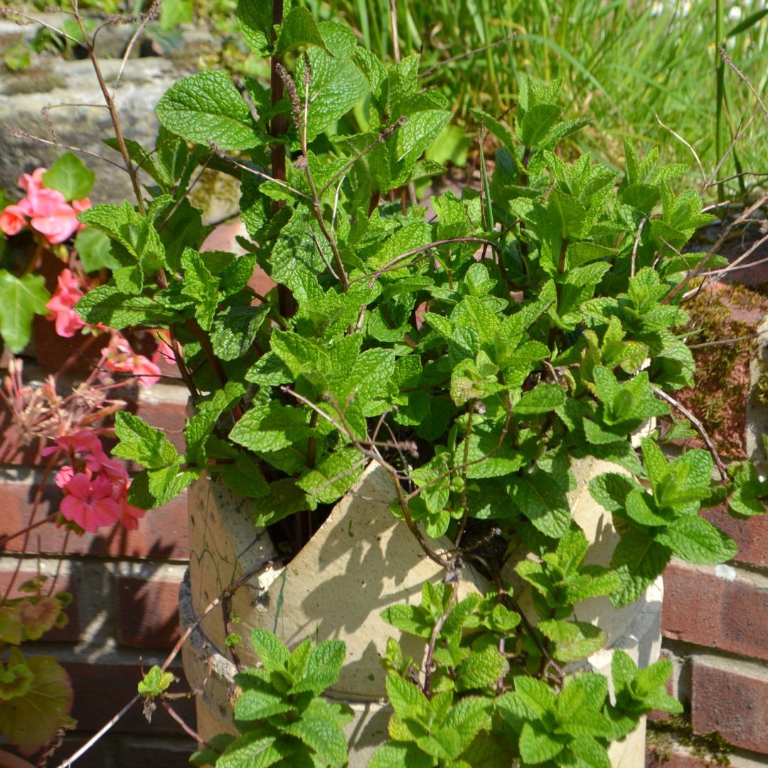 how to grow herbs