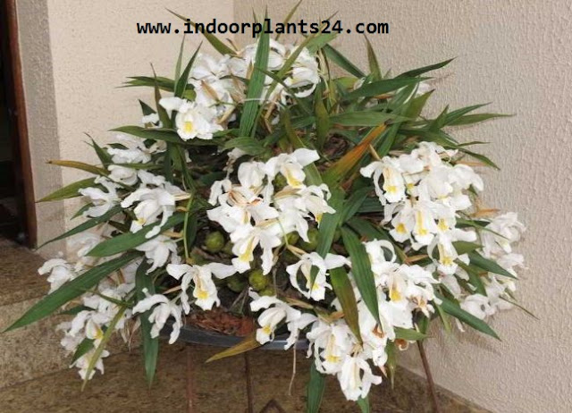 COELOGYNE CRISTATA indoor house plant