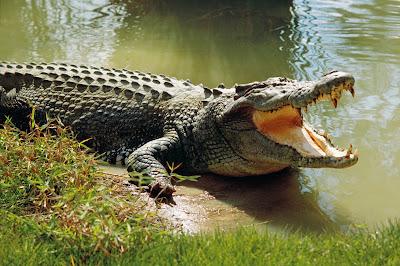 Cá sấu ở Everglades