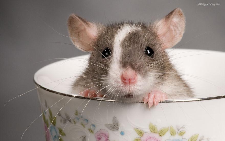 cute-pet-rats-8