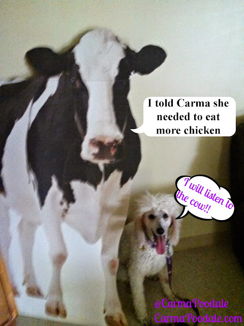 Carma Poodale and a cow