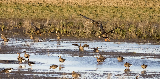 Greenland white-fronted geese coming in for a landing at the Wexford Wildfowl Reserve