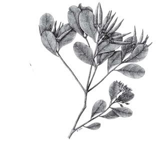 Mengenal Mangrove : Aegiceras floridum R.& S.
