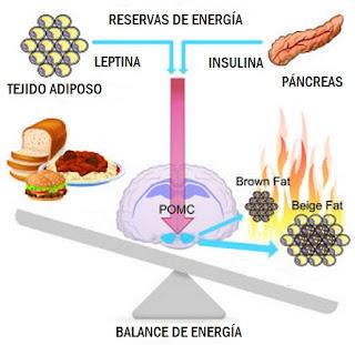 """<img src=""""cómo-quema-la-grasa-nuestro-cuerpo.jpg"""" alt=""""mediante acción de la insulina y una buena alimentación, se controlan los niveles de grasa"""">"""