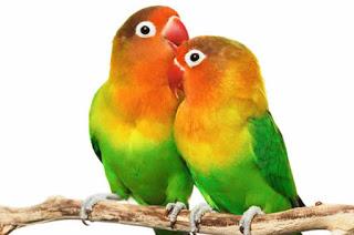Cara Mudah Membedakan Lovebird Jantan Dan Betina