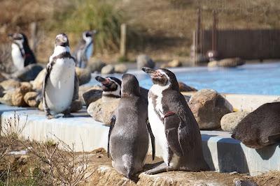 日光浴をする?フンボルトペンギン
