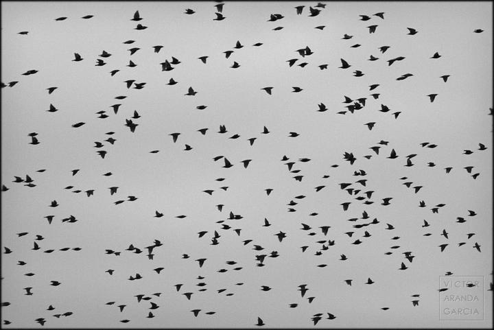 fotografía, animales, pájaros, estorninos, vuelo, Fuente_Álamo