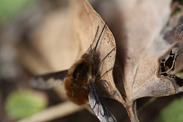 Large Bee-fly, Bombylius major