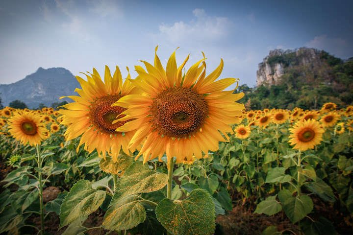 Saraburi Sunflower Field