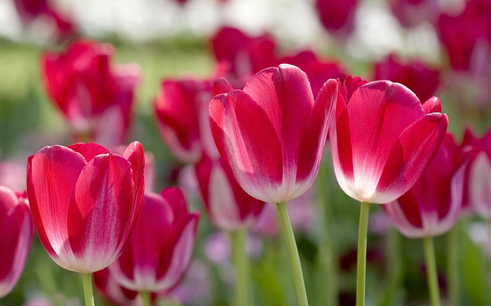 Wallpapers: Red Tulips Desktop Wallpapers