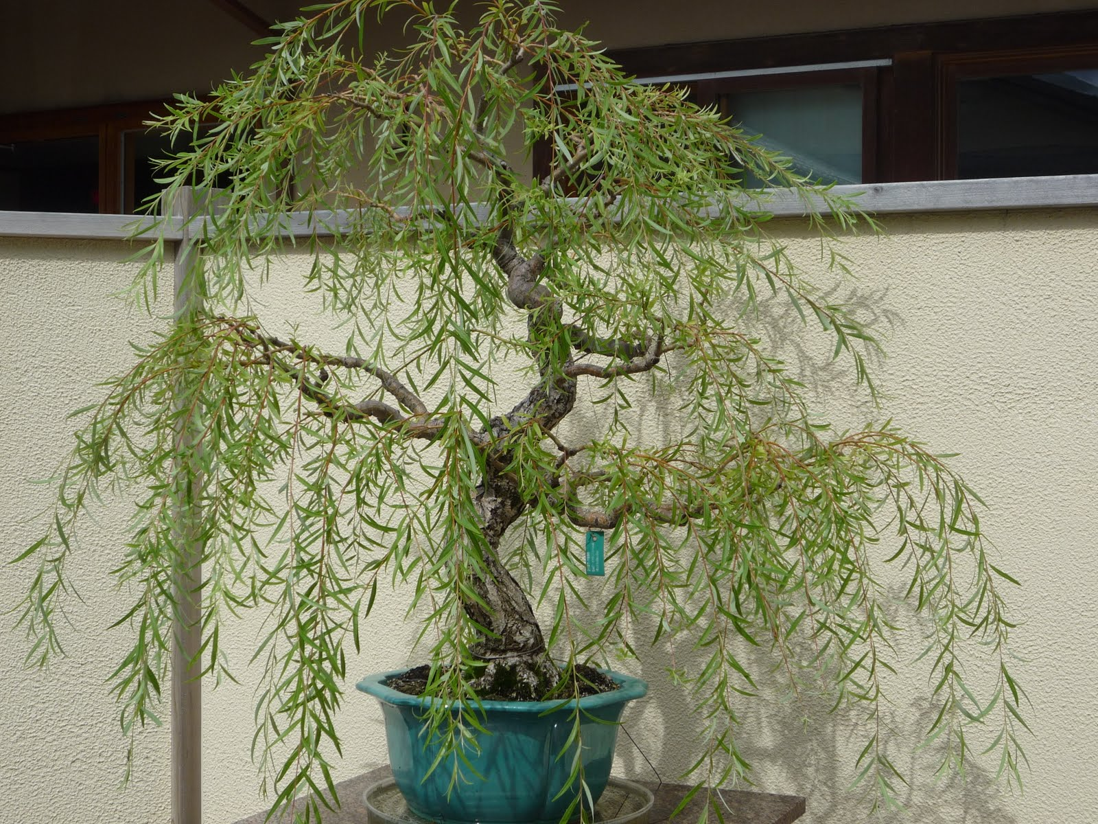 Bonsai Tree 24 Awesome Weeping Willow Bonsai Tree Pictures
