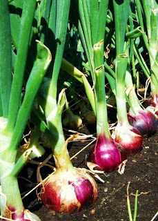 The Garden Oracle's Onion & Scallion Seed, Onion Plant & Onion Products Page:  Red, White, Yellow & Green Onion & Scallion Seeds, Onion Sets, Onion Bulbs, Onion Starts & Onion Plants: Long-Day Onions & Short-Day Onion Types; Sweet Onions; Flat, Round & Oblong Onion Shapes; Hybrid Onions, Heirloom Onions & Organic Onion Types from Multiple Suppliers.  All the Onion & Scallion Seeds, Onion Sets, Onion Starts, Onion Bulbs & Onion Plants you Need for Your Kitchen Garden, Raised Beds, Organic Food Forest, Edible Landscape Plantings and Container Food Gardens!  Plus Related Onion & Scallion Items such as Kitchen Utensils, Cookbooks, Gardening Supplies, Tools, Home Items, Artwork & Decor.  Happy Garden Shopping!