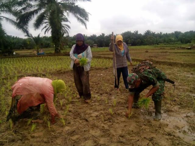 "Anggota Kelompok Tani ""Pelita"" Desa Sei Nahodaris mendapat Pendampingan Penanaman Padi Secara Bekelanjutan oleh Babinsa Koramil 04/LB"