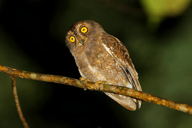 Informasi ihwal burung hantu celepuk simalur Mengenal Burung Hantu Celepuk Simalur