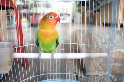 Cara membimbing Lovebird Muda