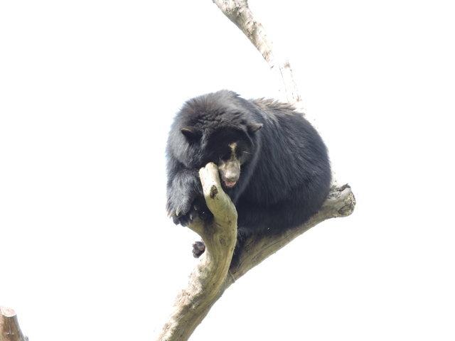 Oso de anteojos del zoológico de santa fe en medellín