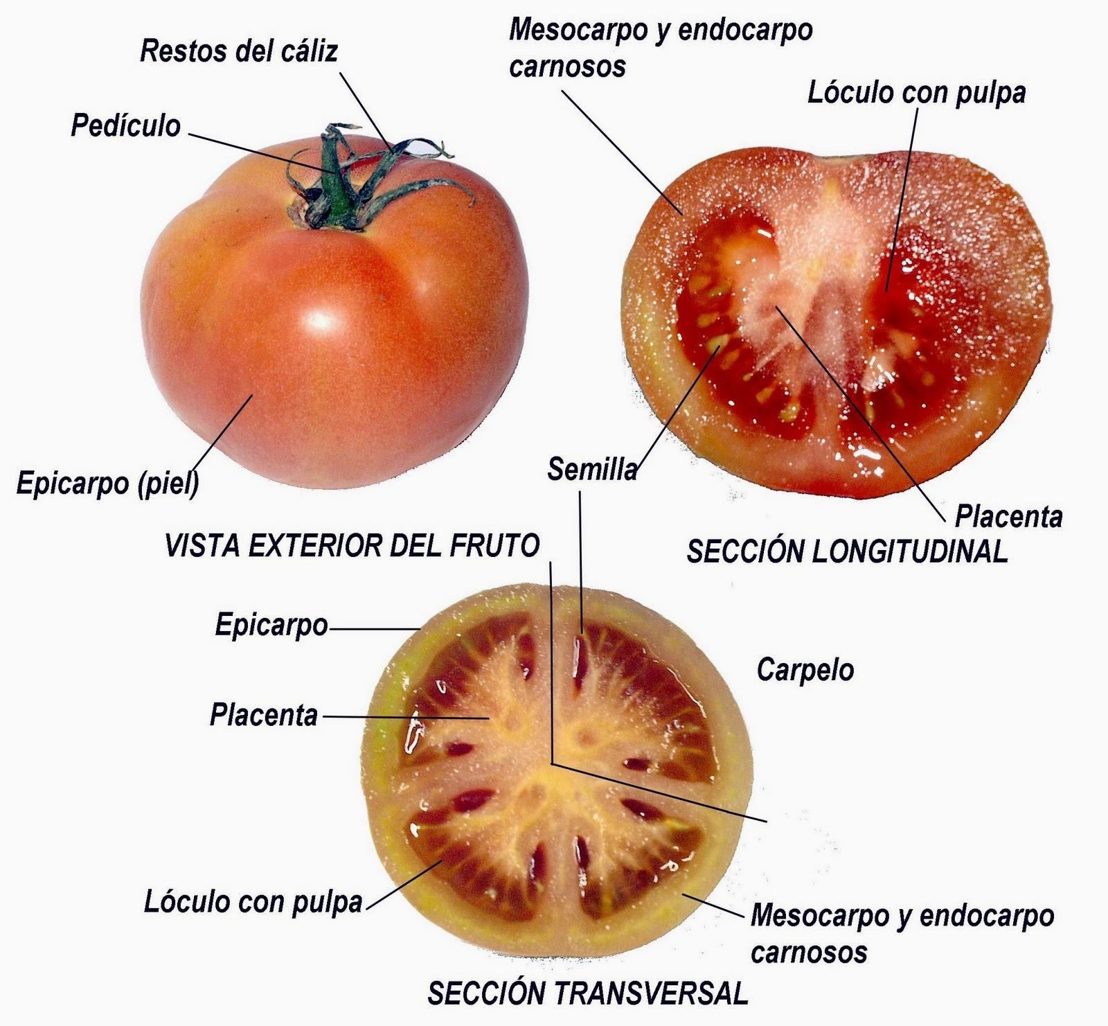 Cultivando Tomates Caracteristicas Botánicas Del Tomate