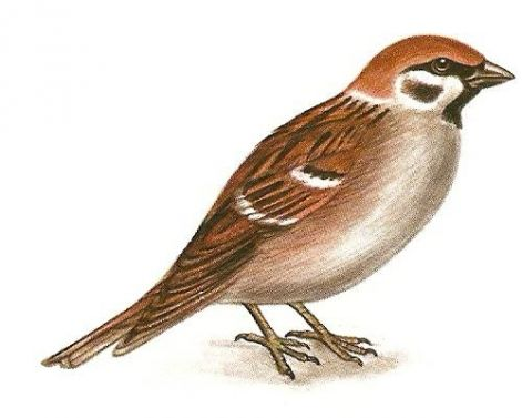 Városi madarak: Érdekességek a madarakról V. Verebek