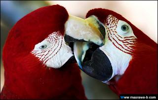 صور طيور الحب