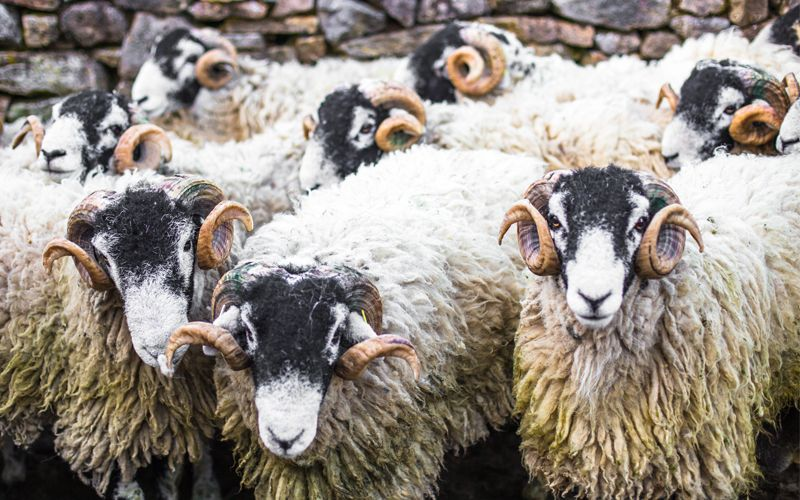 Aygill Farm Cottage -  Swaledale Sheep, Yorkshire Dales