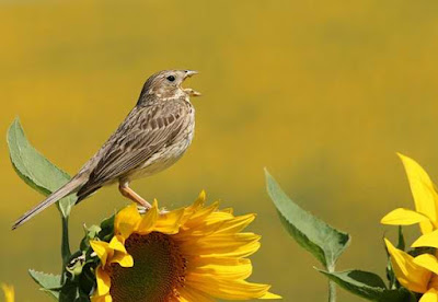 Imagenes de aves: pajarito posado en un flor girasol