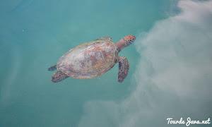penangkaran penyu laut di open trip pulau harapan
