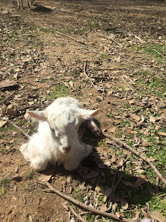 baby goats, Saanen goats, farm life,