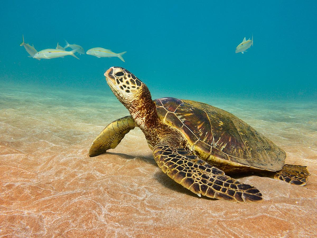 Baby Green Sea Turtles Swimming | Car Interior Design - photo#49