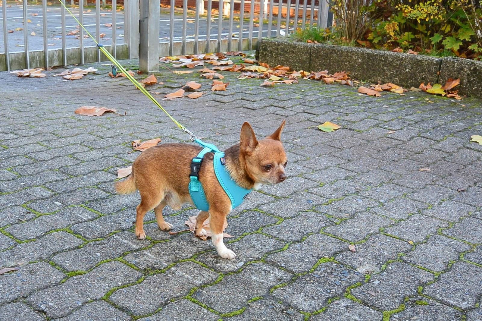 Chihuahua Ikä